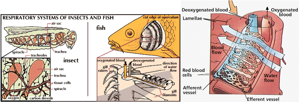 Diagram Of Respiratory System In Fish Choice Image How To Guide And Refrence